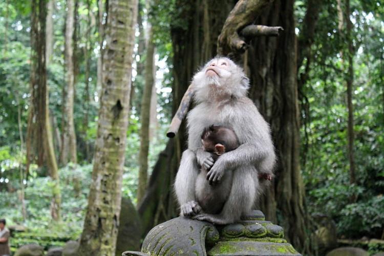 Cute monkeys at the Sacred Monkey Forest in Ubud, Bali, Indonesia