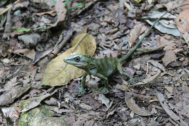 A lizard on a walking trail in the Cameron Highlands, Malaysia