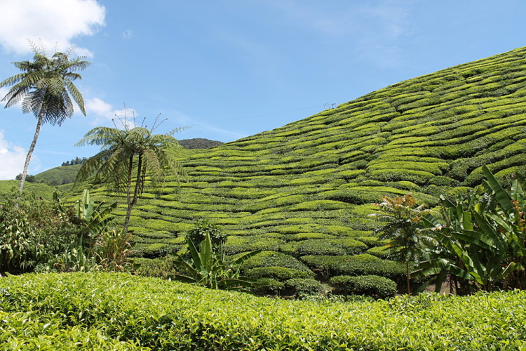 The BOH Tea Plantation in Cameron Highlands, Malaysia