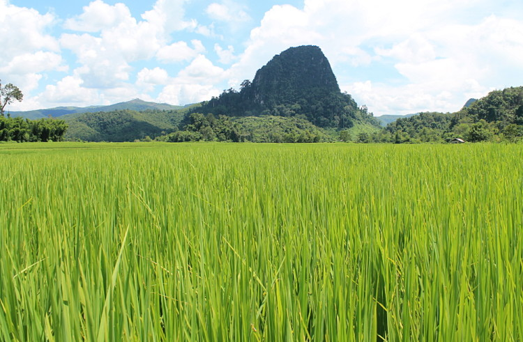 rice fields in Muang Ngoi, Laos