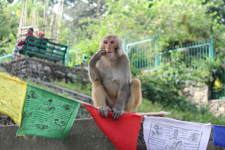 A monkey relaxing at the monkey temple in Kathmandu, Nepal