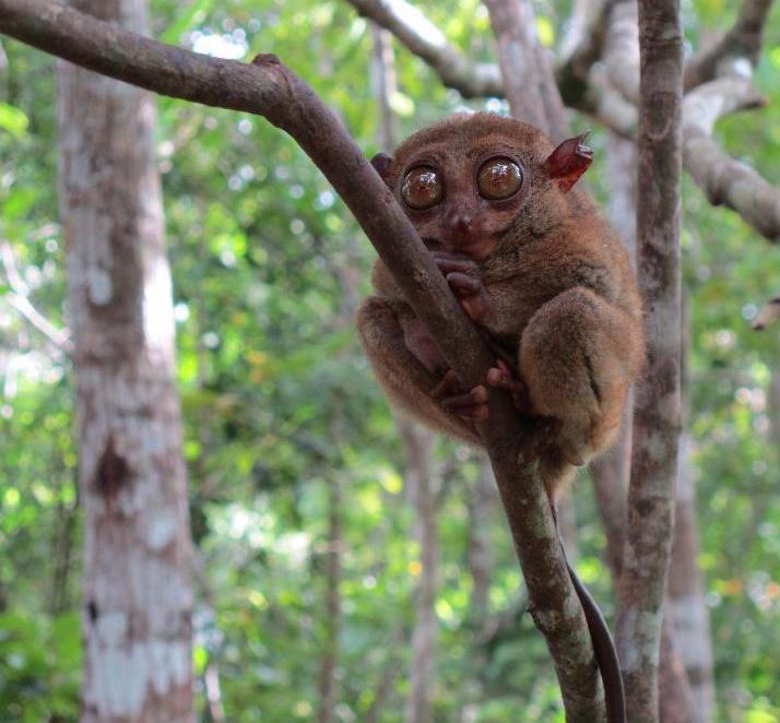 tarsier-bohol