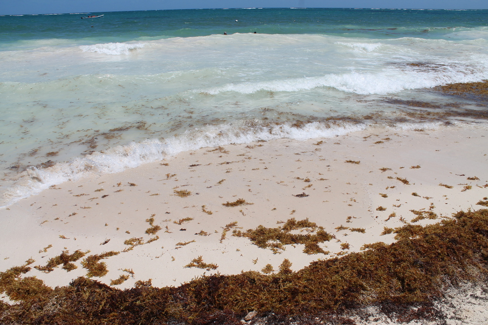 Lots of seaweed in Tulum, Mexico