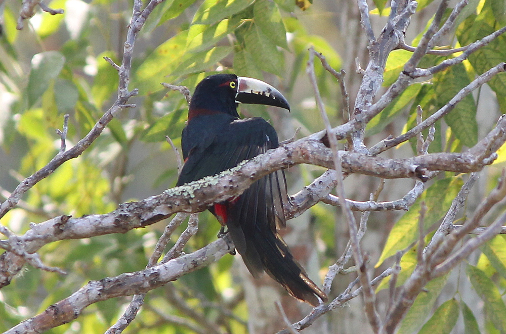 toucan-tikal-guatemala