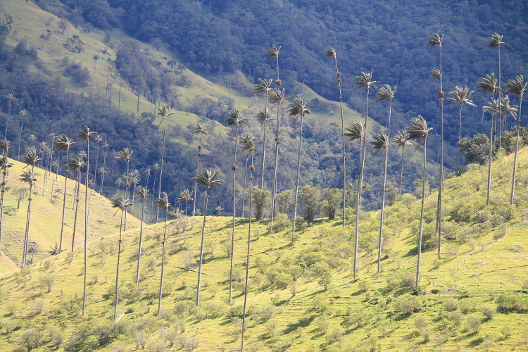 Wax palms in the Cocora Valley near Salento, part of Colombia's coffee zone
