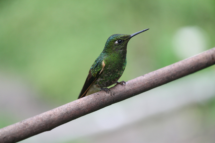 A hummingbird at Acaime during the Cocora Valley hike, Salento - a great area in Colombia's coffee zone