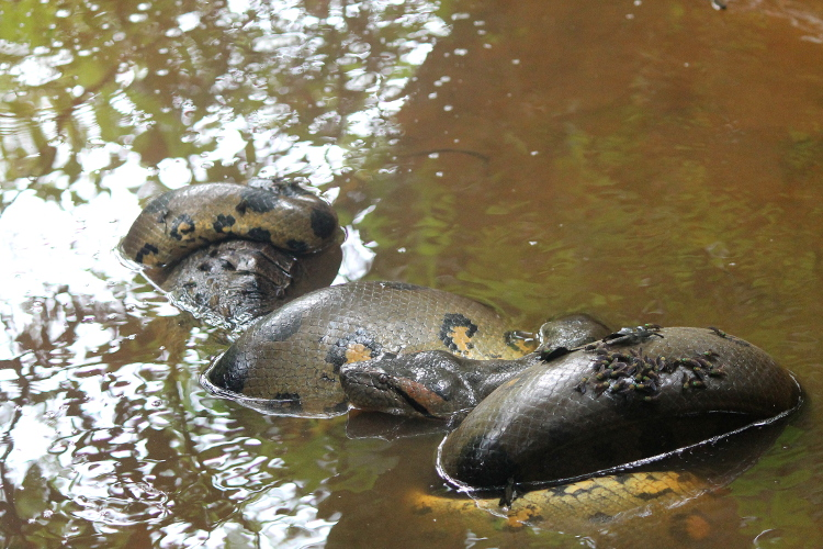 Anaconda vs caiman in the Amazon in Ecuador