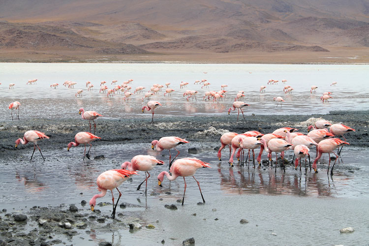 flamingoes-bolivia