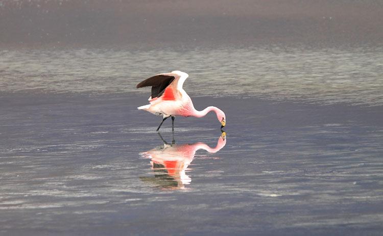 Uyuni salt flat tour, Bolivia: Flamingo reflection