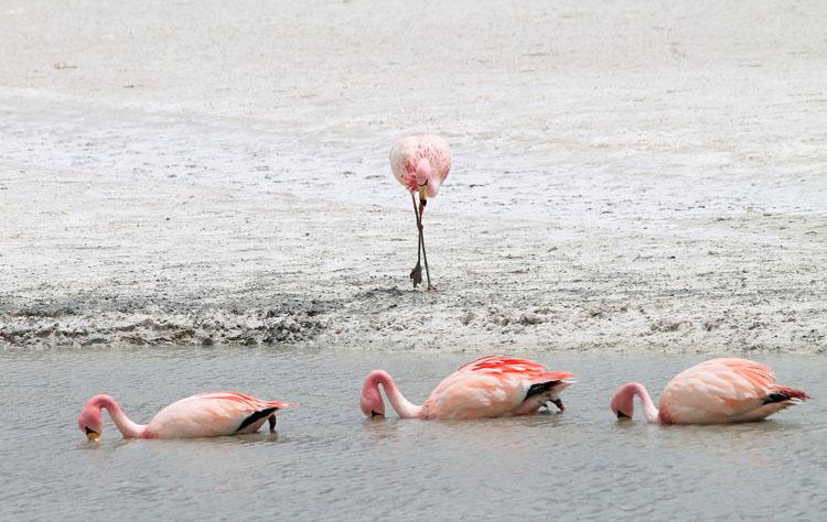 flamingos-in-bolivia