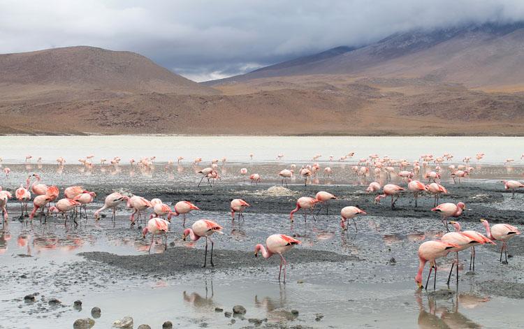 Uyuni salt flat tour, Bolivia: Flamingos