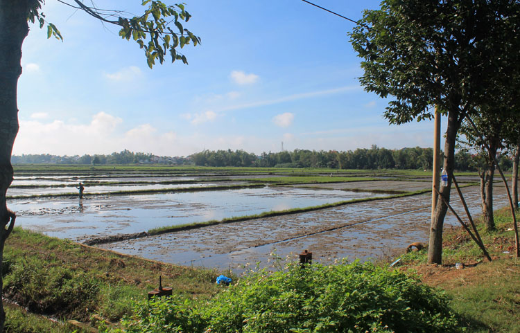 Rice paddies on the way to the beaches in Hoi An, Vietnam