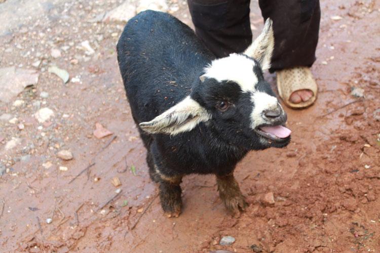 Dong Van to Meo Vac along the Ma Pi Leng Pass: A baby goat