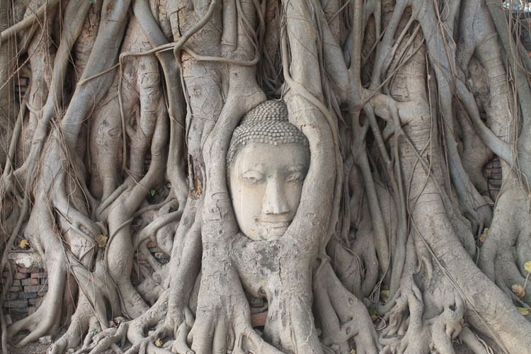 Cycling to the ruins in Ayutthaya, Thailand -- a Buddha head in a tree