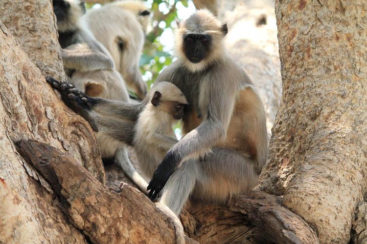 monkeys-chittorgarh