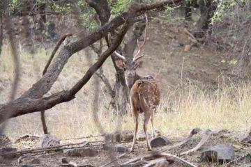 tigerless-tiger-safari-ranthambore-india