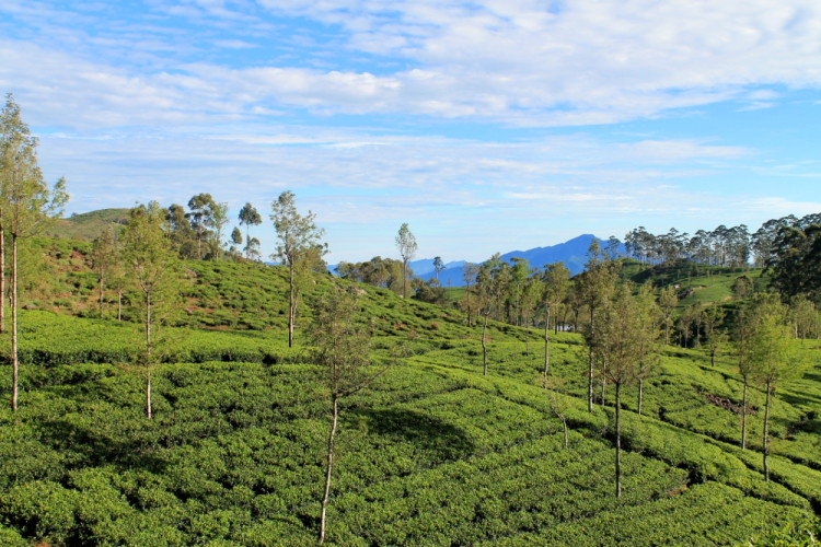 The green tea fields at lipton's tea plantation, in the hill country in the Sri Lanka