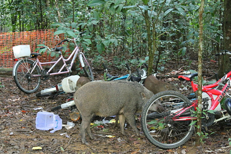 A wild boar eating a bike on Pulau Ubin, a great place to spot wild animals in Singapore