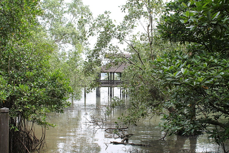 A mangrove swamp at Sungei Buloh Wetland Reserve, Kranji, Singapore