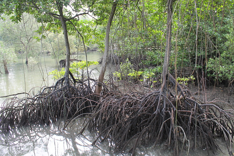 A mangrove tree at Sungei Buloh Wetland Reserve in Kranji, Singapore