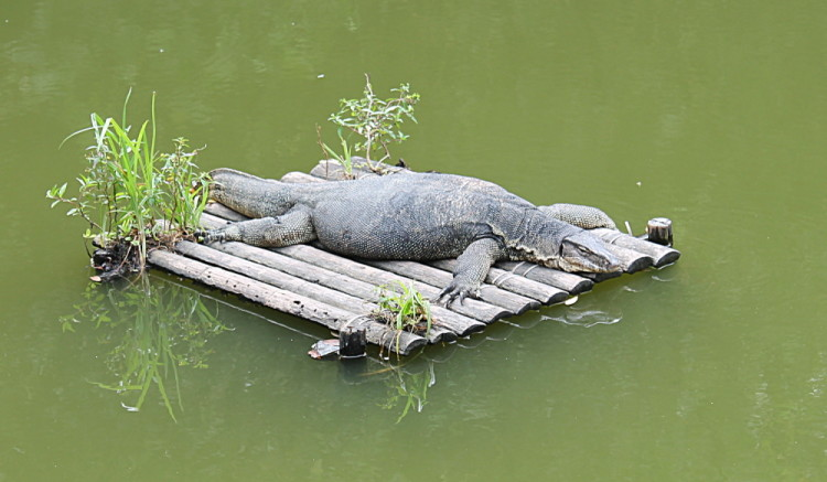 A monitor lizard relaxing at Sungie Buloh Wetland Reserve, Kranji, Singapore