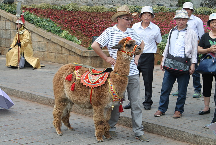Man posing with a llama in Dali Old Town, Yunnan, China