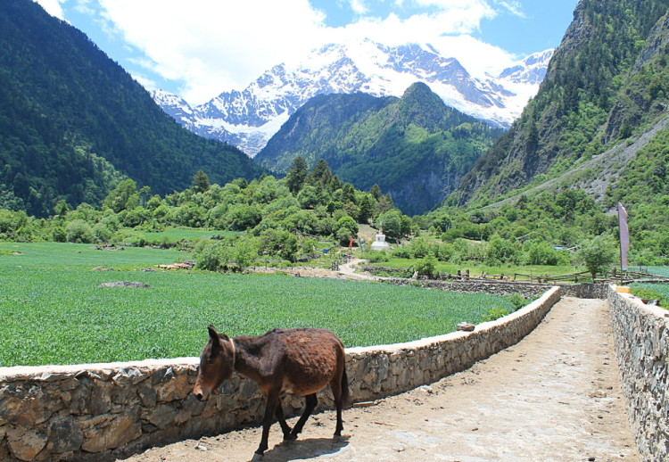 A mule in Upper Yubeng, Yunnan, China