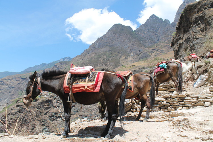 Mules on the Tiger Leaping Gorge trek, Yunnan, China