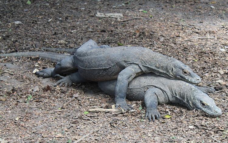 Komodo National Park tour, Indonesia: Komodo dragons mating on Rinca Island