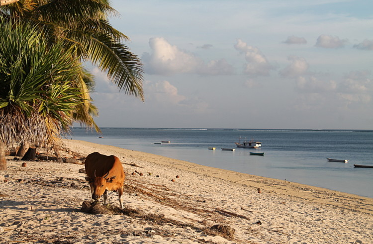 A cow on the beach in Nemberala, Rote Island, Indonesia