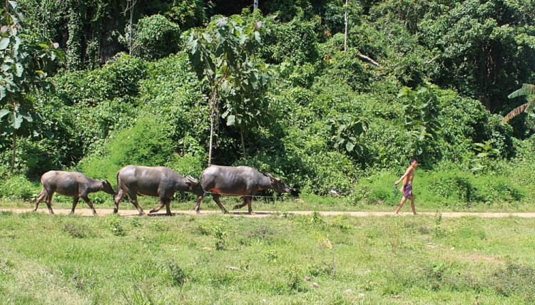 water buffaloes in Muang Ngoi, Laos
