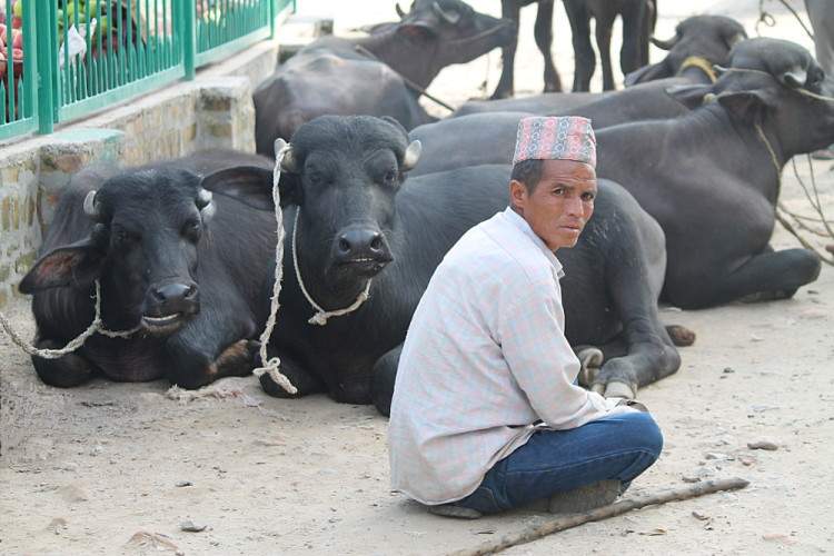 Cows on the streets of Kathmandu, Nepal