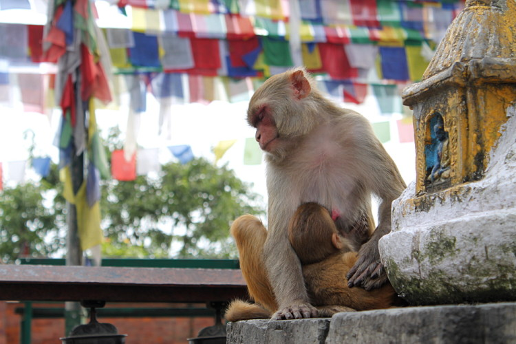 A sleeping monkey and baby at the monkey temple in Kathmandu, Nepal