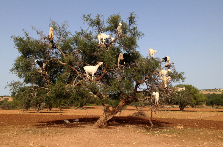 Goats in trees, during our day trip to Essaouira, Morocco