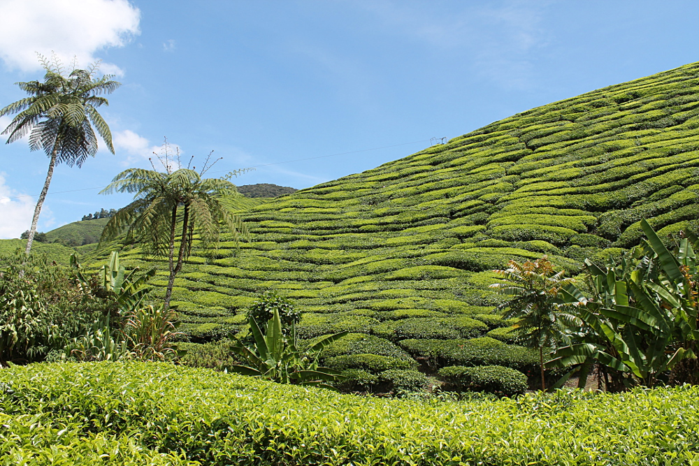 A year on the road: Cameron Highlands, Malaysia