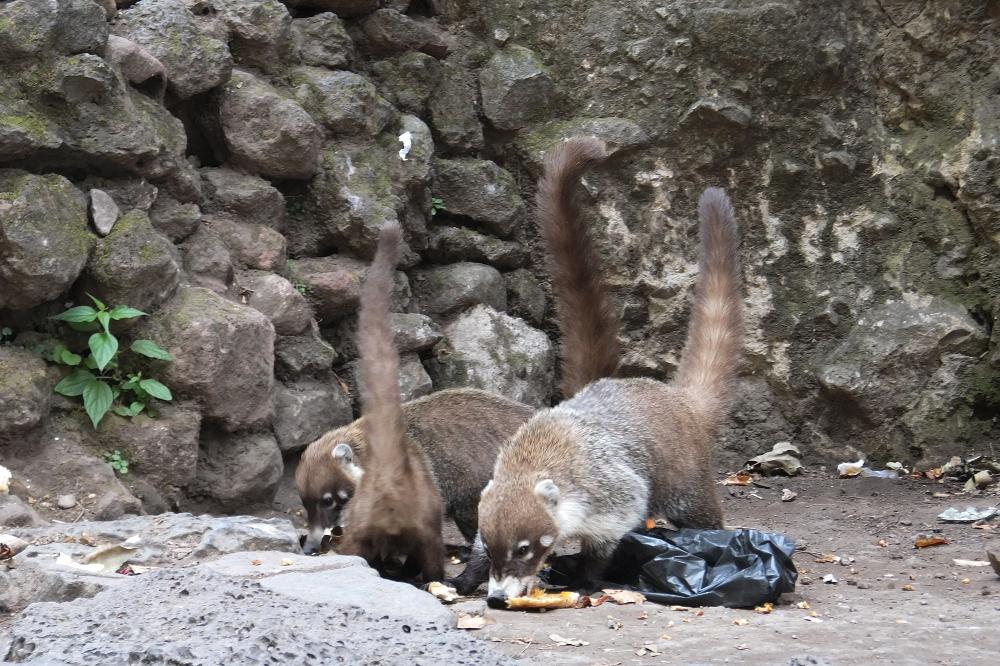 tepoztlan-coati-cartel