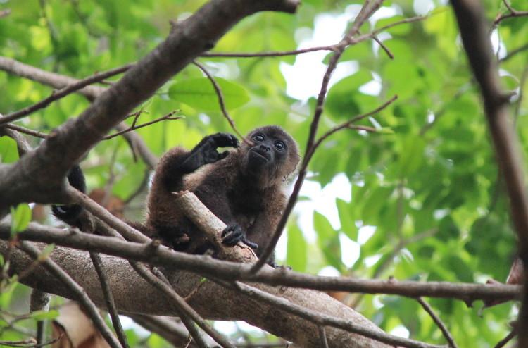 howler-monkey-ometepe-nicaragua