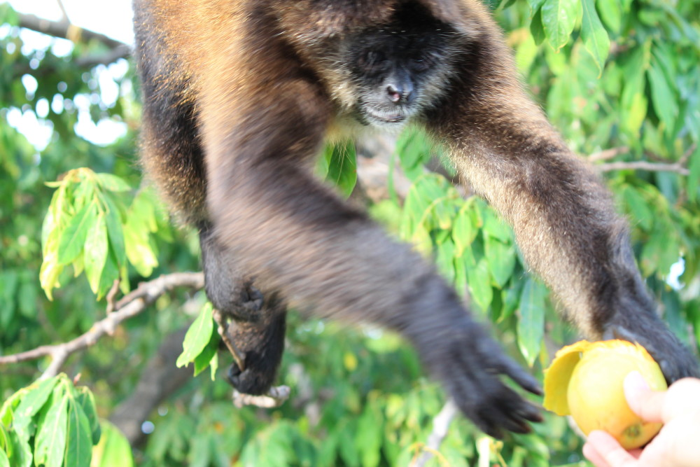 mango-monkey-granada-nicaragua