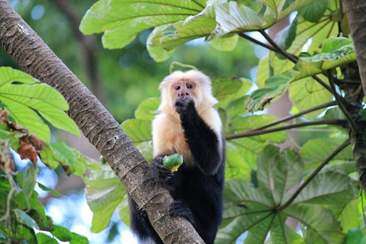 white-face-monkey-nicaragua-ometepe