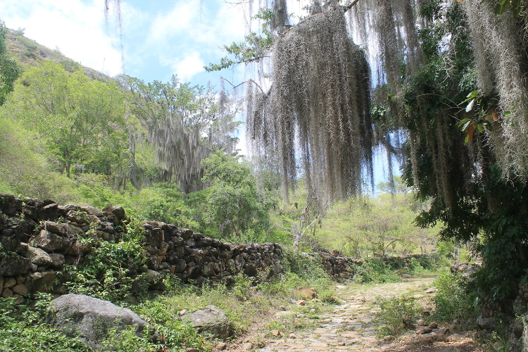 Old man's beard on the way from Barichara to Guane, Colombia