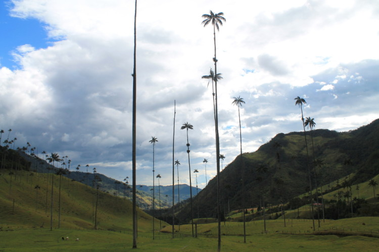 Colombia's coffee zone - The Cocora Valley wax palms, Salento