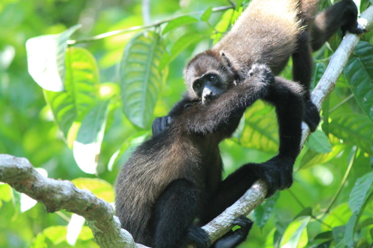 A week of budget backpacking in Costa Rica - monkeys at Manuel Antonio National Park