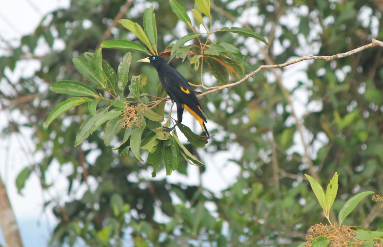 A bird in the Amazon in Ecuador
