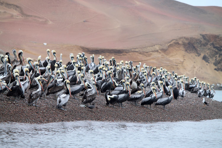 Pelicans on the Islas Ballestas tour, Paracas, Peru