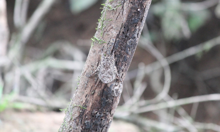 The Amazon in Ecuador - a camouflaged bat in the Cuyabano Reserve