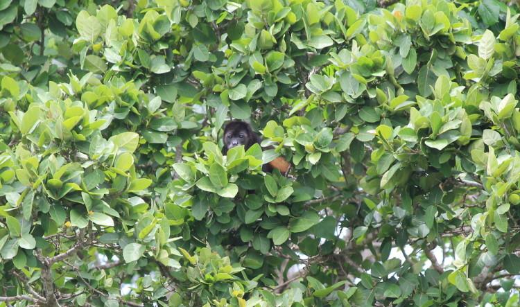 Solentiname Islands, Nicaragua: Howler monkey on monkey island