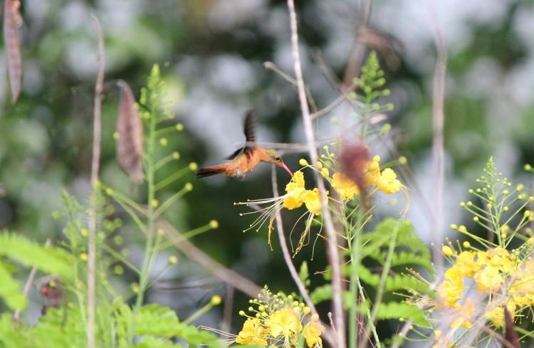 A hummingbird on Mancaron, Solentiname Islands, Nicaragua: