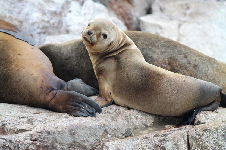 Sea lion Isla Ballestas, Paracas, Peru