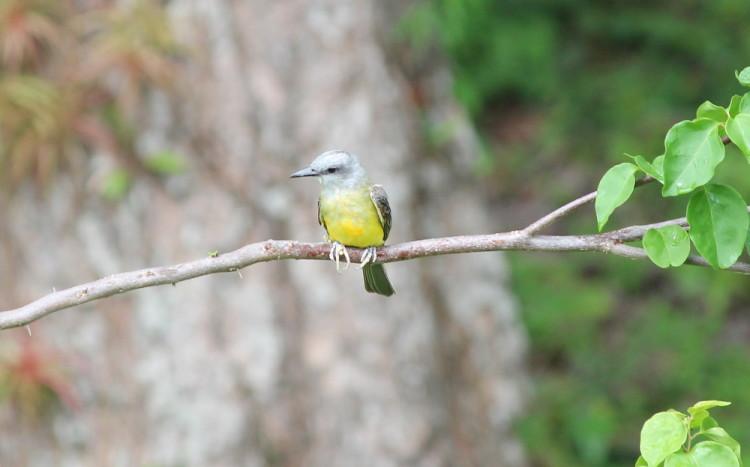 Solentiname Islands, Nicaragua: A yellow bird