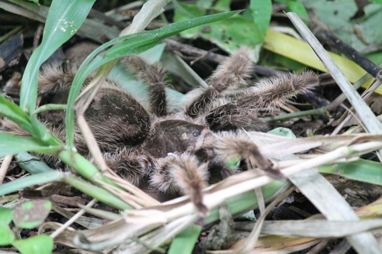 A tarantula on Mancarron, Solentiname Islands, Nicaragua